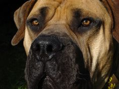 South African Boerboel Mastiff. Looks just like Zulu, our current big male dog. He is getting long in the tooth now but is still a delight.