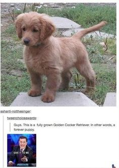 This is supposedly a fully grown Golden Cocker Retriever......a puppy forever.  Is this real life????