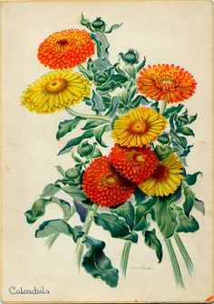 #flowershop Calendula Vintage Botanical Illustration by Edith Johnston from A Book Of Garden Flowers. $6.00, via Etsy.