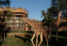 Grab your coffee and say good morning to nature at Disney's Animal Kingdom Lodge! Learn more - http://di.sn/6188B45Pp