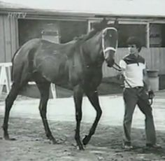 """Ruffian (April 17, 1972- July 7, 1975) Voted top female racehorse of the 20th century. Her legend has earned her a place in the U.S Racing Hall of Fame. She remained undefeated until her 11th race when she injured herself in a match race against top colt (male horse) of the year, """"Foolish Pleasure"""". She broke her sesamoid bones in her leg, but stubbornly refused her jockey's attempts to stop her on the track. She ran for another 100 yards, determined to win."""