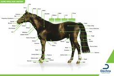 Enlargement of the equine whole body anatomy chart. I use to be able to know all of the parts of a horse...