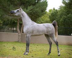 arabian show horses   ... Top Ten at Scottsdale Show!   Egyptian Arabian Horses - Arabians LTD