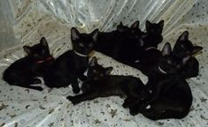 Pretty Cats, Cute Cats, Miaou Miaou, Bombay Cat, Grunge, Halloween Cat, Cat Breeds, Cat Lady, Aesthetic Pictures