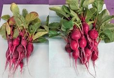 A pair of images compares radishes grown with and without an ammonia-producing bacterial treatment.