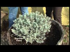 So you bought a lavender plant.tips on how to prune lavender bushes so they will grow into a big luscious plant. Porch Garden, Herb Garden, Garden Plants, Garden Landscaping, Lavender Pruning, Lavender Bush, Container Gardening, Gardening Tips, Tree Pruning