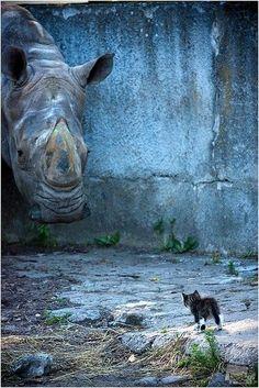 rinocetonte