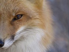 There is a growing population of wild foxes within the park boundaries in New Jersey. 2015 National Geographic Photo Contest - The Atlantic
