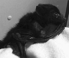 Fruit bat babies (flying foxes) are very close to human babies. Also, grown-up bats are close to human too, except for they are much more cuter. Bat Flying, Fear Of Flying, All Bat, Bat Animal, Baby Bats, Fruit Bat, Cute Bat, Creatures Of The Night, Cute Baby Animals