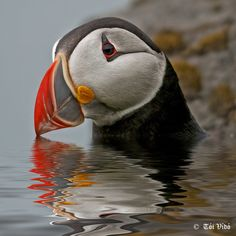 Puffin in Iceland. Photo by: Tói Vídó Animals And Pets, Baby Animals, Cute Animals, Pretty Birds, Beautiful Birds, Puffins Bird, Mundo Animal, Bird Pictures, Sea Birds