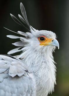 The stylish & beautiful secretary bird by Debbie Beals