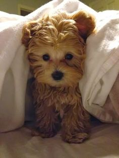Teddy bear pup