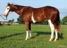 American Paint Horse, Paint Horses, Horses For Sale, Ready To Go, Barrels, Cattle, Animals, Painting, Pinto Horses