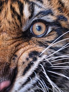 """the eye of a tiger by Irawan Subingar--""""up close and personal with a tiger, no cropped only resize"""""""