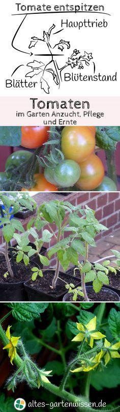 Sonnengereifte Tomaten aus dem eigenen Garten sind ein Geschmackserlebnis, das die Mühe wert ist. Alles über Anzucht, Pflanzung, Pflege, Düngung und Tomatenkrankheiten und was man alles falsch machen kann – man sollte sich dennoch nicht davon abschrecken lassen.
