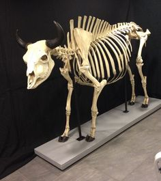 Antique skeleton of an enormous American bull bison - 270 cm x 180 x 80 cm - Catawiki American Bull, American Giant, American Bison, Cow Skeleton, Skeleton Anatomy, Horse Skull, Animal Skeletons, Bull Cow, Anatomy Reference
