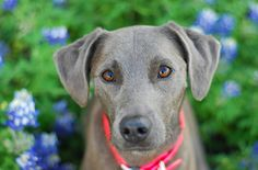 Texas Blue Lacy #Dog #Puppy