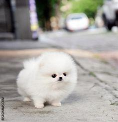 Amazing Teddy Bear Chubby Adorable Dog - cfd4160fe575be9c576f5d4e79071bef--fluffy-animals-baby-animals  Image_422758  .jpg