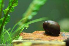 Olive Nerite Snail                                                       …
