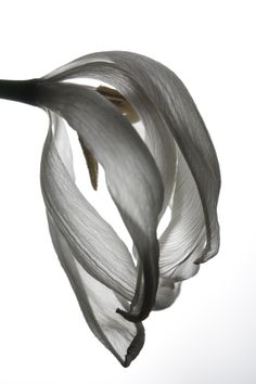 Perishing tulip_botanic photography by Sonja Kuijpers, via Behance