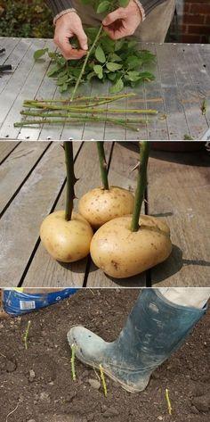 Separe o caule da flor e espete as pontas inferiores dele em uma batata, depois plante/enterre a batata.