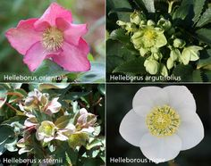 Buy hellebore collection Helleborus collection of six plants - Six wonderful hellebores: 6 × pots: Delivery by Crocus Woodland Plants, Horticulture, Garden Inspiration, Perennials, Fence, Delivery, Stuff To Buy, Gardening, Collection