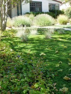 Alternative lawn: Creeping Thyme,Dwarf Plumbago,Turkish Speedwell, Sheep Fescue,Blue Fescue (+ Spring bulbs)