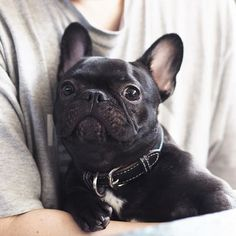 French Bulldog Puppy Love.