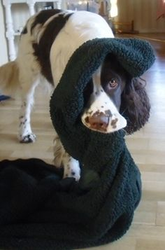 My own dog, Eddi. He is an 3 years old English Springer Spaniel.
