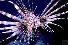 The volitan lionfish (Pterois volitans) is a stunning reef predator. The large venomous spines keep them safe from larger predators and their stripes help camouflage themselves while hunting prey. This species has become invasive in the gulf coast and the southeastern coast of the United States. Though a spectacular fish for a predatory fish-only tank, they will eat small fish and shrimp. — at Fauna NYC
