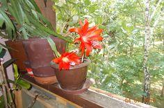 Kaktus procvetao,predivni cvetovi,prelepih boja-