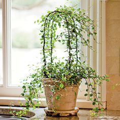 Houseplant topiary - angel vine (Muehlenbeckia complexa) - oes well in bright-to-low light, indoor warmth, and slightly moist soil.