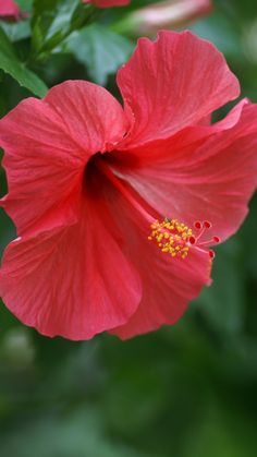 hibiscus, chinese rose, red