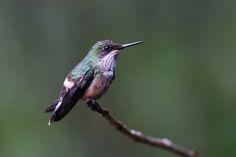 Foto topetinho-verde (Lophornis chalybeus) por Maycon Rezende | Wiki Aves - A Enciclopédia das Aves do Brasil