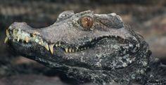 dwarf crocodile | Cuvier's Dwarf Caiman by AzureHowlShilach