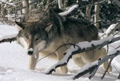 """Lakota (""""Friend""""), the brother of Kamots, was the pack's largest wolf, and yet its omega and the submissive instigator of play."""
