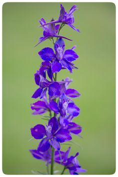 #FlowerShowLove  Larkspur is July's flower and my Valentine, my 2 year old son, was born in July.