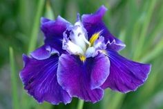 Iris Frosted Intrigue, true colors