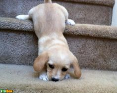 Train Your Dog to Go Up and Down the Stairs 47100.jpg and link to how to tell if your dog is okay after a fall down the stairs: http://www.wikihow.com/Tell-if-a-Small-Dog-Is-Okay-After-a-Fall