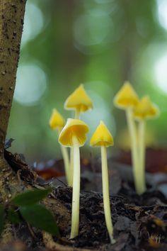 Yellow Unicorn Entoloma Mushrooms by nekogigi