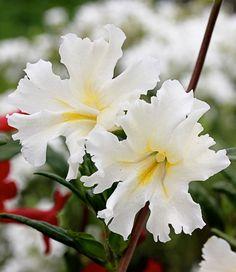 Mimulus bifidus 'White' Drought tolerant perennial zones 9-10 Sun/pt shade