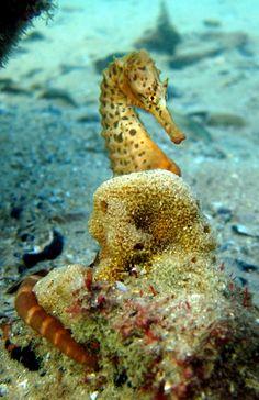 Hippocampus bleekeri  Rye Pier