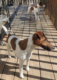 Petfinder  Adoptable | Dog | Smooth Fox Terriers | Hackettstown, NJ | Brothers STONE & HENRY Terrier Rescue, Terrier Breeds, Terrier Dogs, Dog Breeds, Big Dogs, Small Dogs, Cute Puppies, Cute Dogs, Smooth Fox Terriers