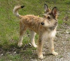 berger picard dog photo | jpg - Berger Picard Some experts believe that the Berger Picard ...