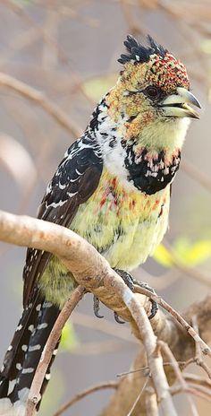 El barbudo crestado es una especie de ave piciforme en la familia Lybiidae que vive en África.