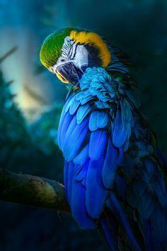 Blue and Yellow Macaw (Ara ararauna) - Least Concern Cute Birds, Pretty Birds, Beautiful Birds, Animals Beautiful, Tropical Birds, Exotic Birds, Colorful Birds, Animals And Pets, Cute Animals