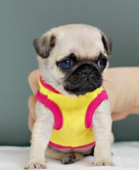 I want one so bad Photo Animaliere, Full Full, Baby Pugs, Amazing Dogs, Live Laugh Love, Pug Love, Best Dogs, Cute Pictures, French Bulldog