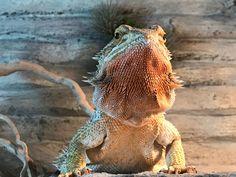 Bearded dragon male