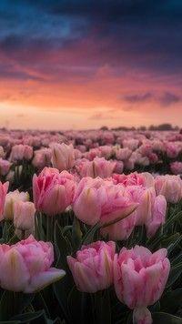 Różowe tulipany - Tapeta na telefon Flower Aesthetic, Aesthetic Photo, Aesthetic Art, Cute Patterns Wallpaper, Cool Wallpaper, Iphone Wallpaper, Good Morning Beautiful Flowers, Wallpaper Nature Flowers, Nature Photography Flowers