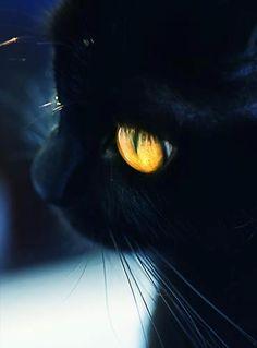 Un chat noir aux yeux dorés. Magnifique.